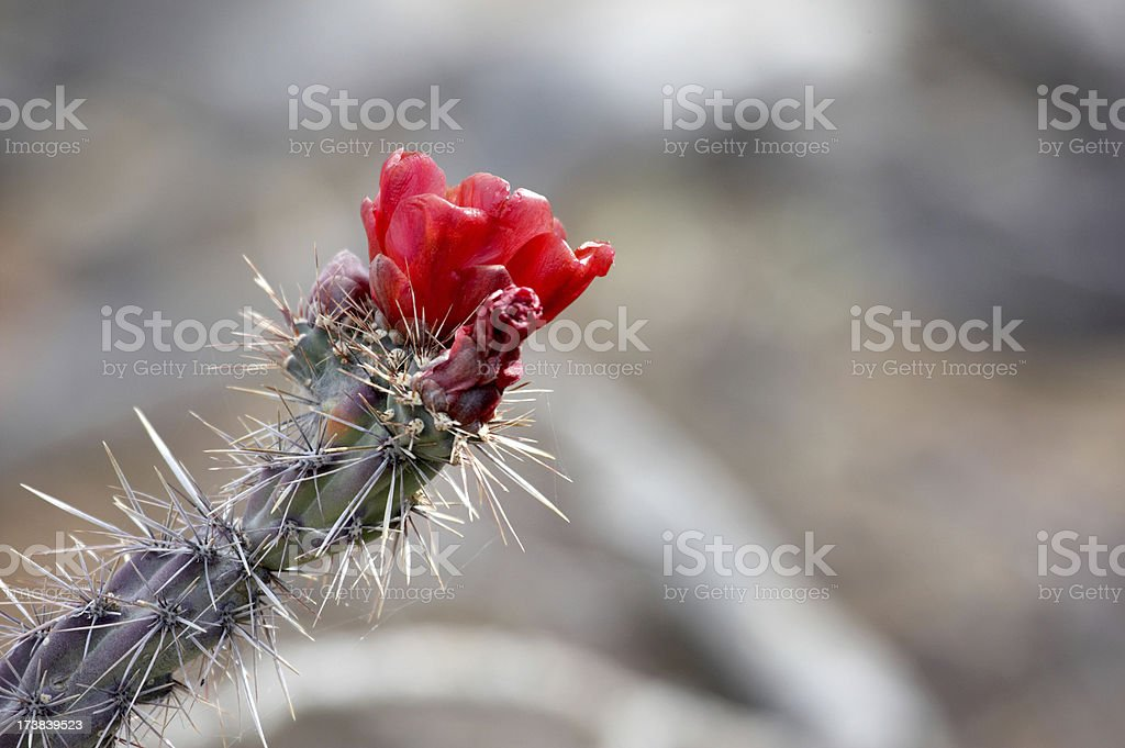 Red cactus flower in bloom royalty-free stock photo