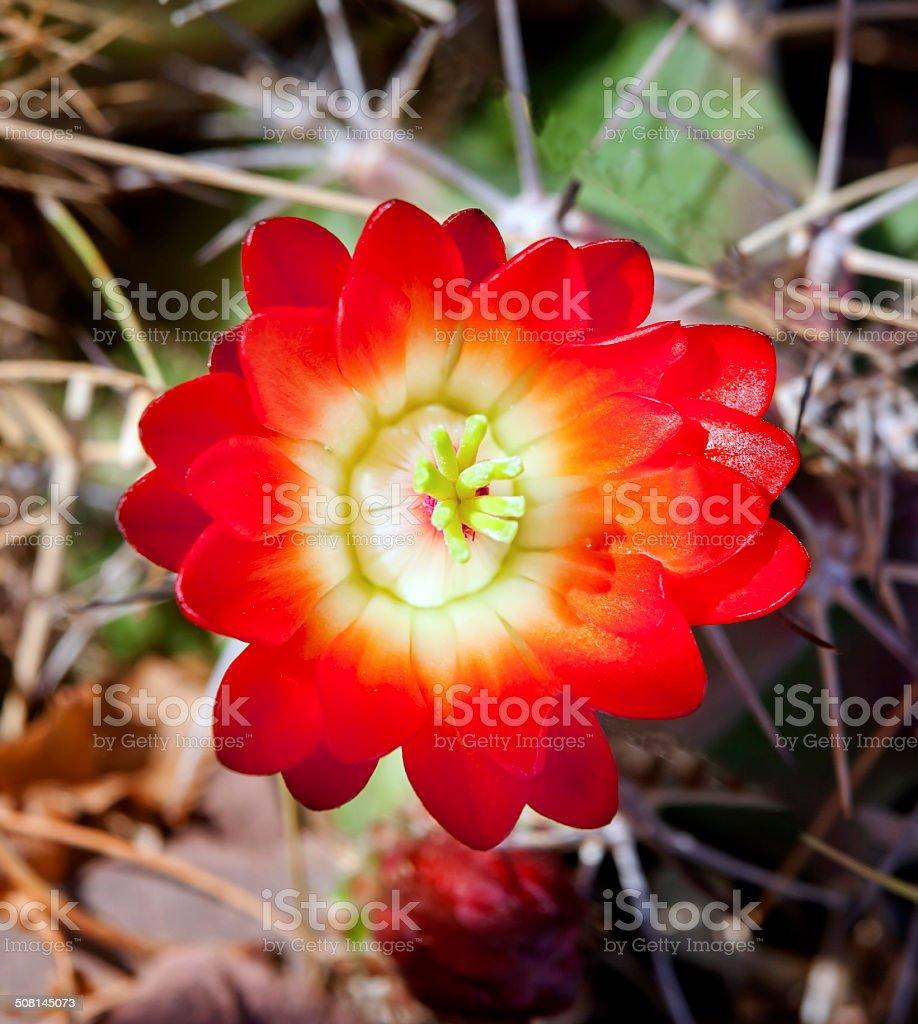 Red Cactus Flower stock photo