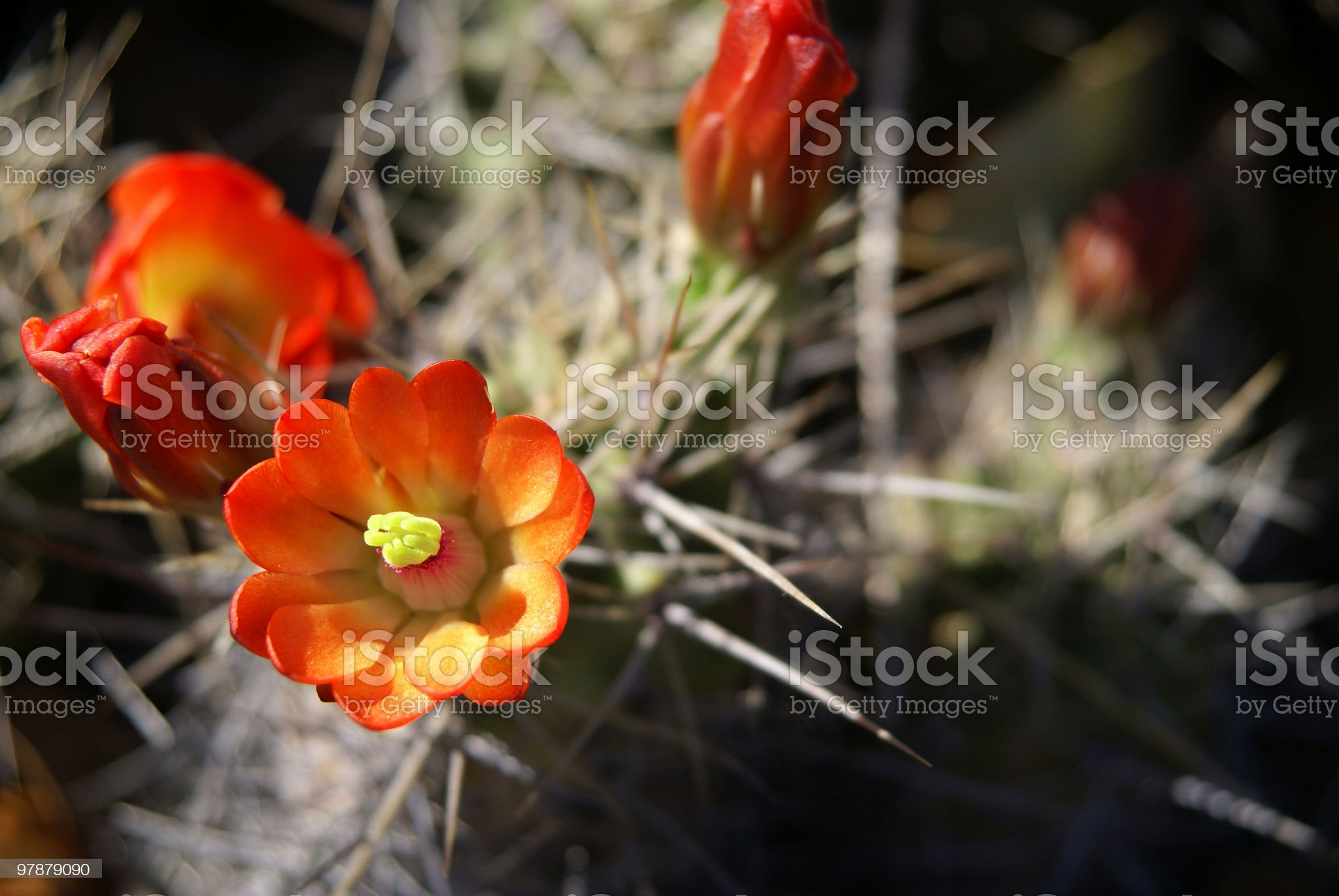 Red cactus flower royalty-free stock photo