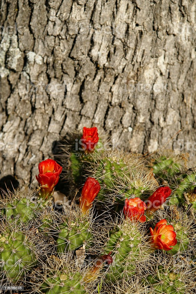 Red cactus royalty-free stock photo
