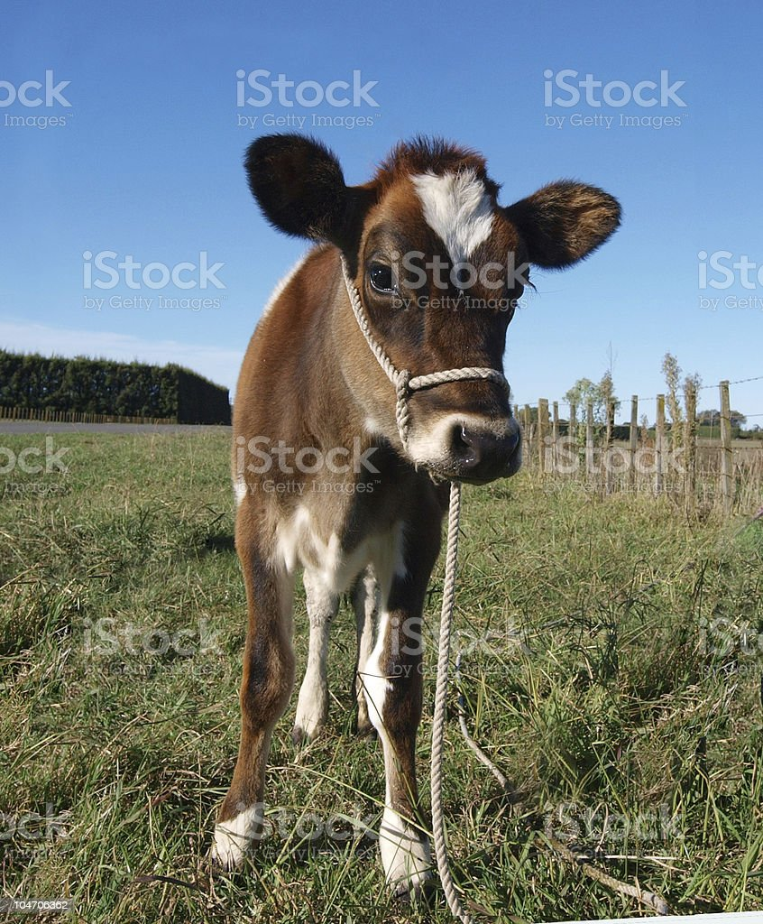 Red Calf stock photo