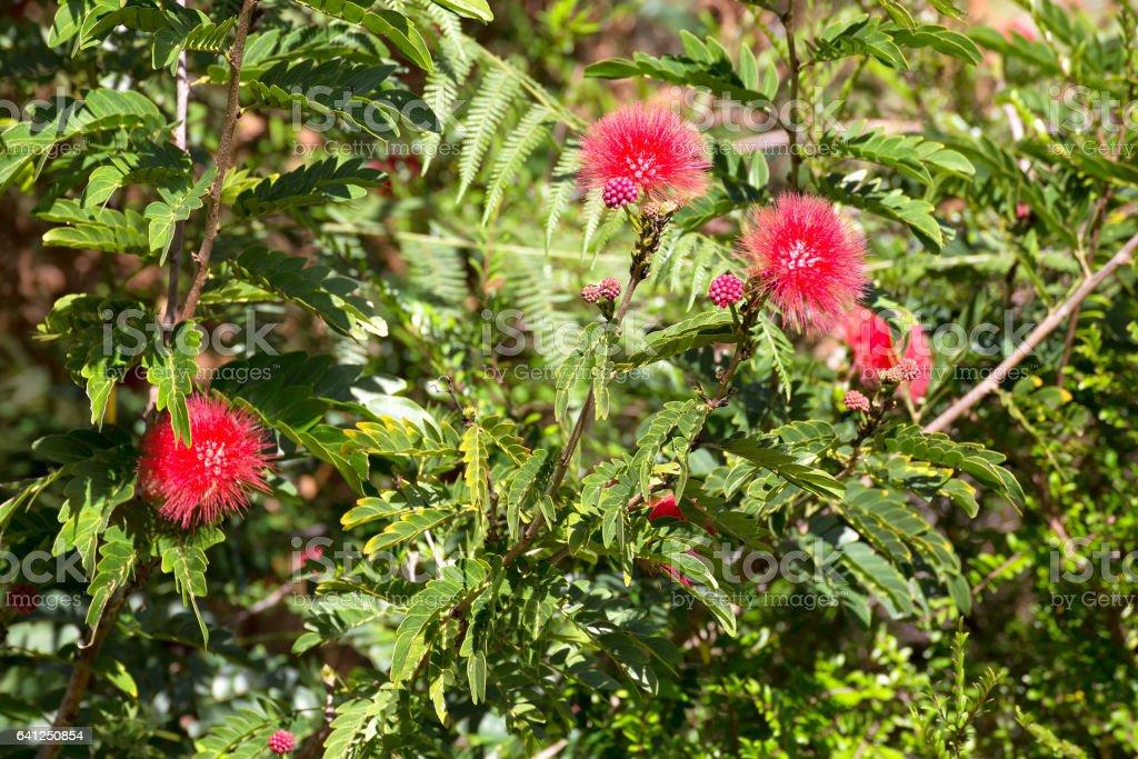 Red Calliandra growing near Kuranda stock photo