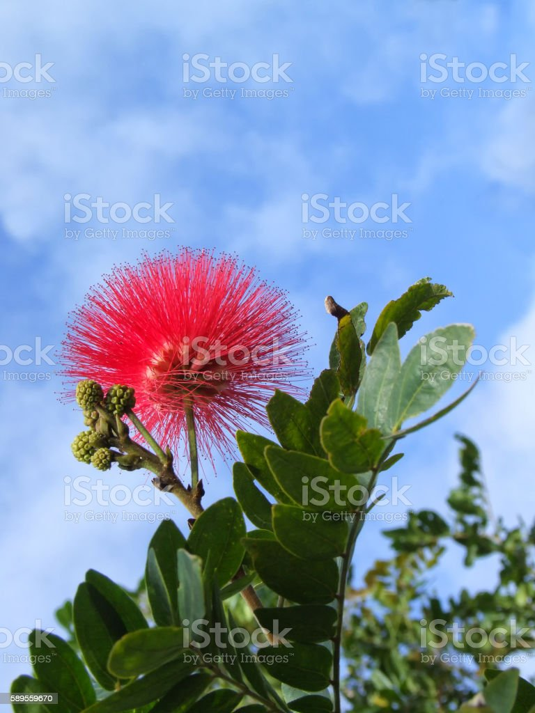 Red Calliandra with buds and blue sky stock photo
