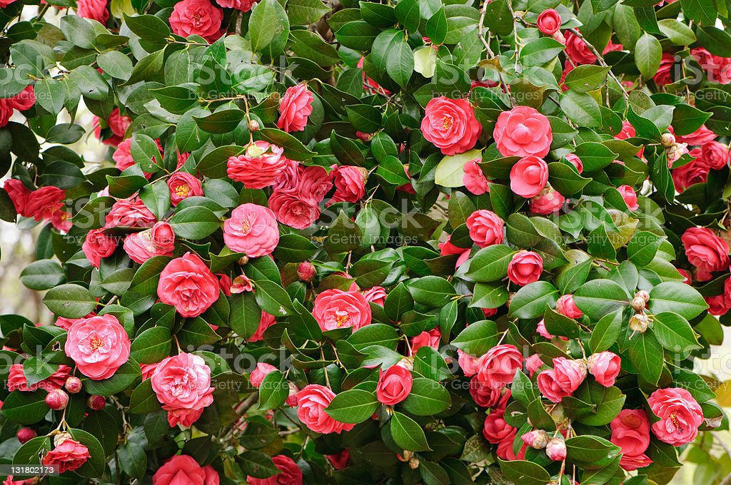 Red camelia bush stock photo