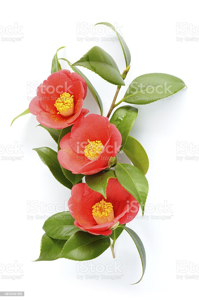 Red camellia blossom isolated stock photo