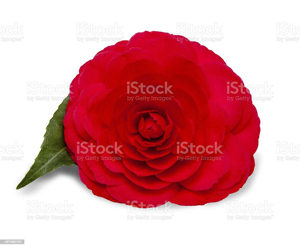 Red Camellia Flower on a White Background stock photo