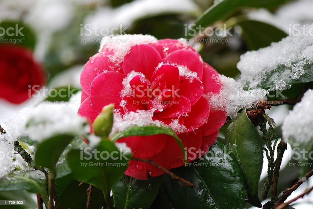 Red Camellia in Snow stock photo