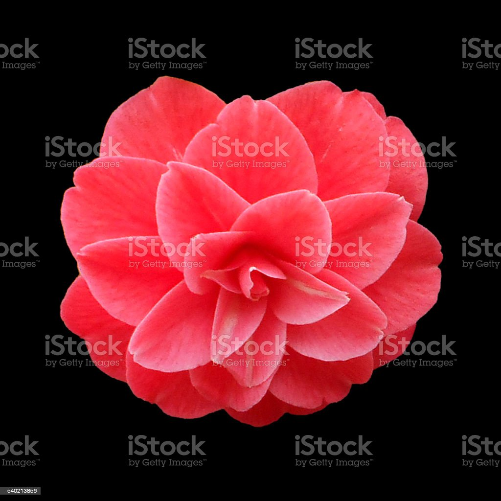 Red camellia on the black background stock photo