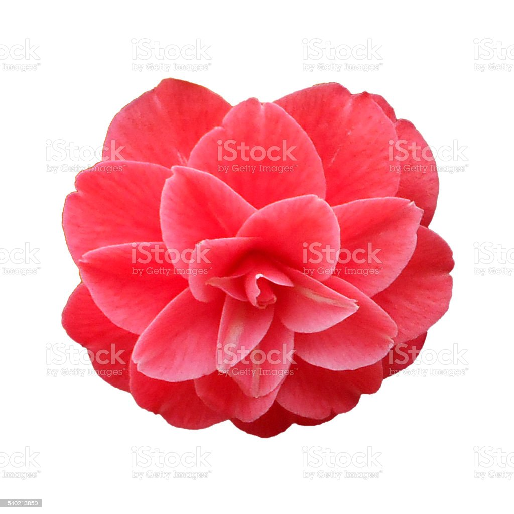 Red camellia on the white background stock photo