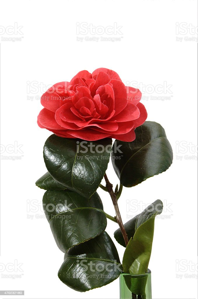 Red camellia stock photo
