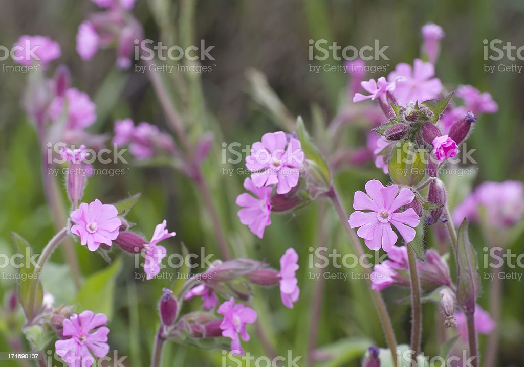 Red Campion (Silene dioica) royalty-free stock photo