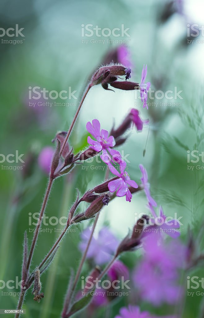 Red campion, Silene dioica photographed early morning stock photo