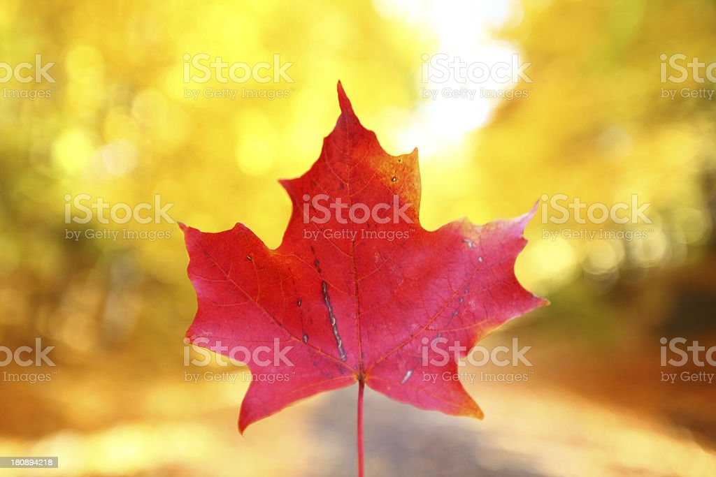 Red canadian maple leaf on yellow stock photo