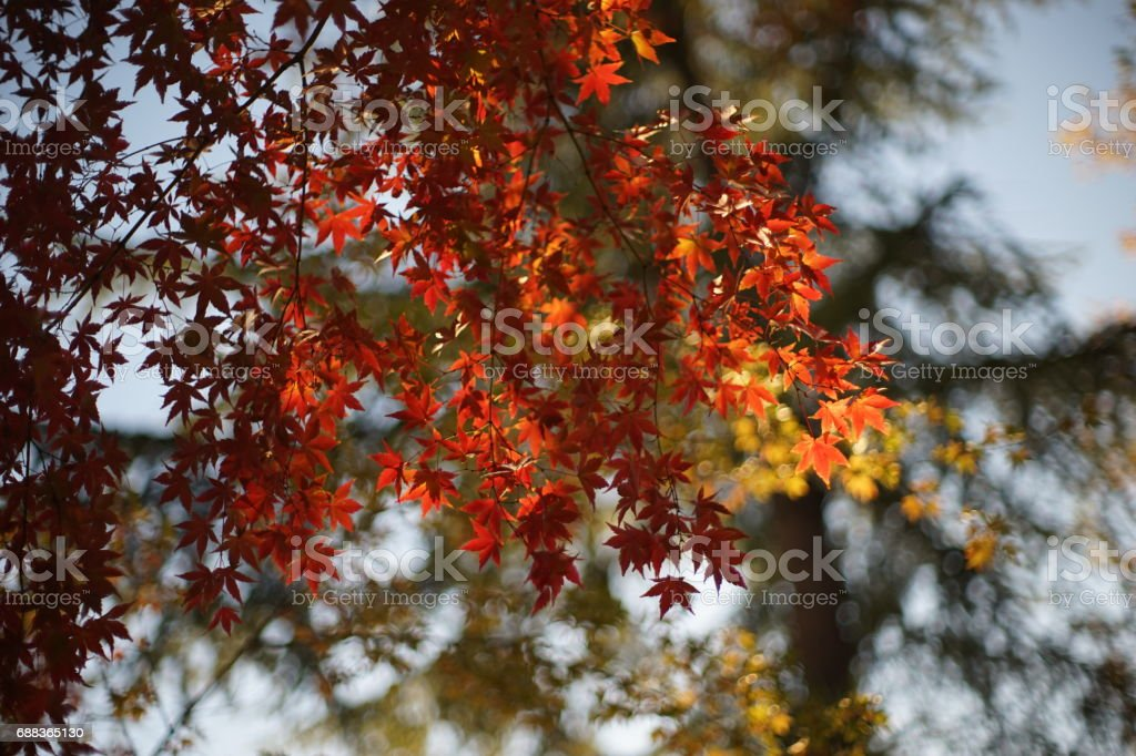 Red canadian maple leaves in autumn against the sky and bokeh of the leaves stock photo