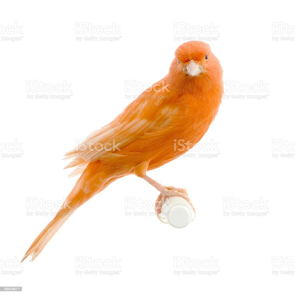 Red canary on its perch stock photo
