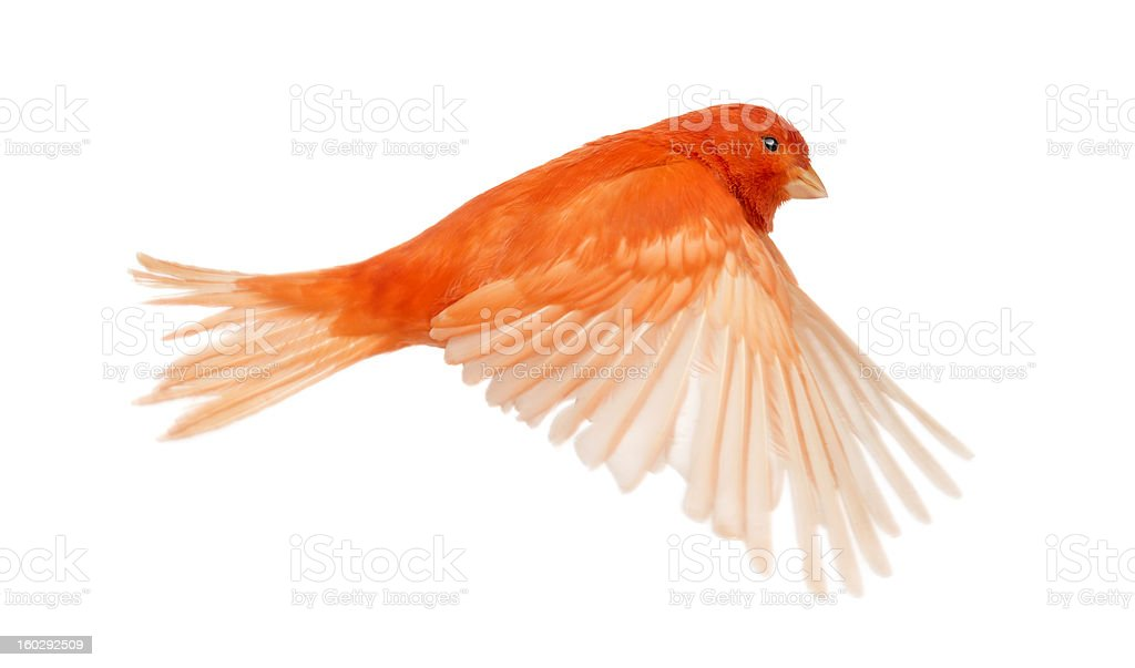 Red canary Serinus canaria, flying against white background stock photo