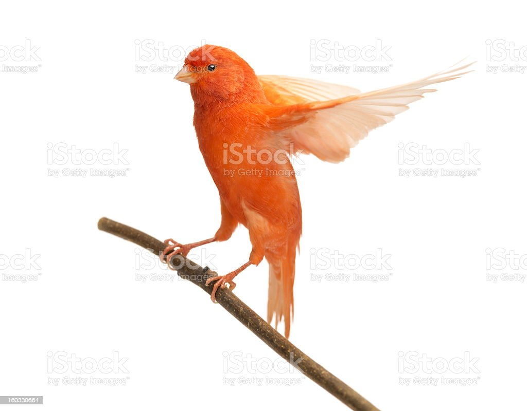 Red canary Serinus canaria, perched on a branch stock photo