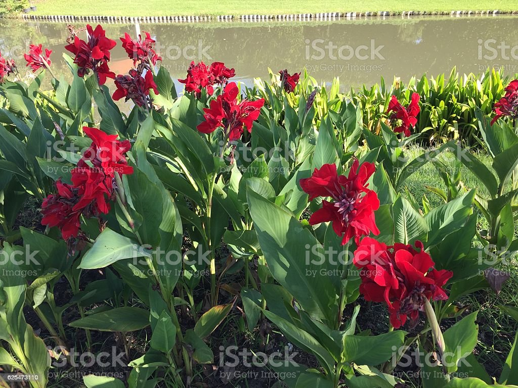 Red Canna flower and lake stock photo