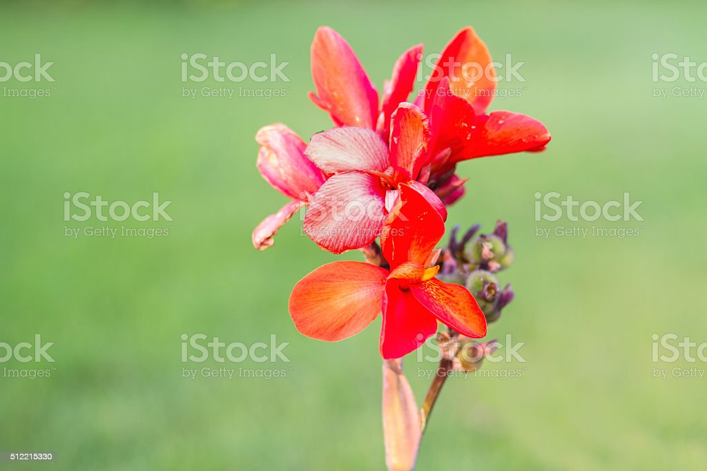 Red Canna flower (Canna indica) in the garden with blurred stock photo