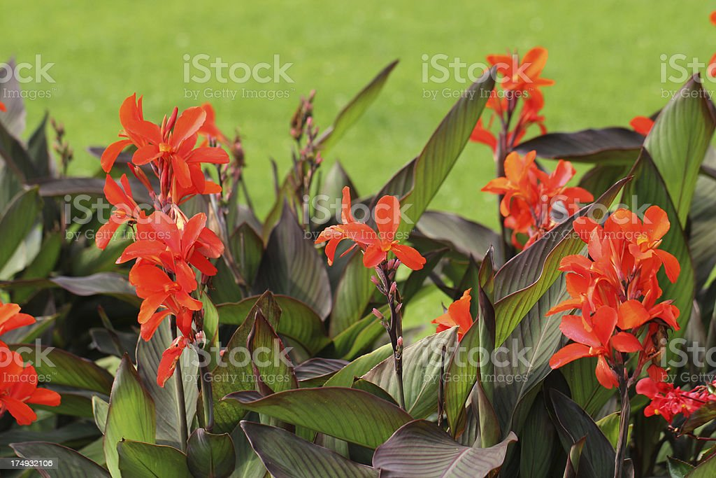 Red canna flower stock photo