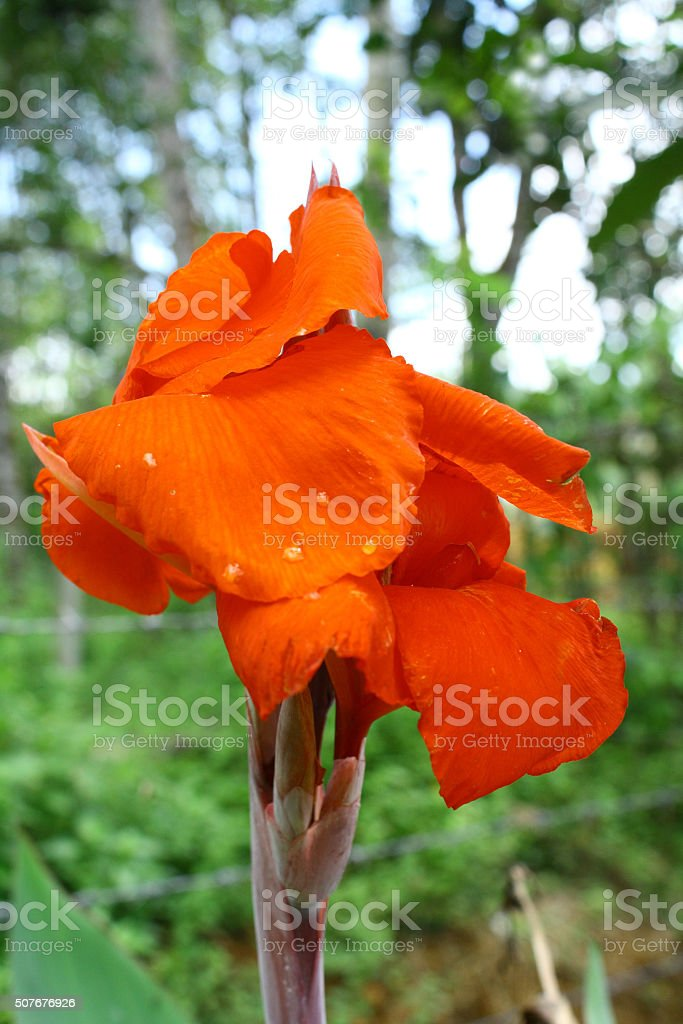 Red cannas flower stock photo
