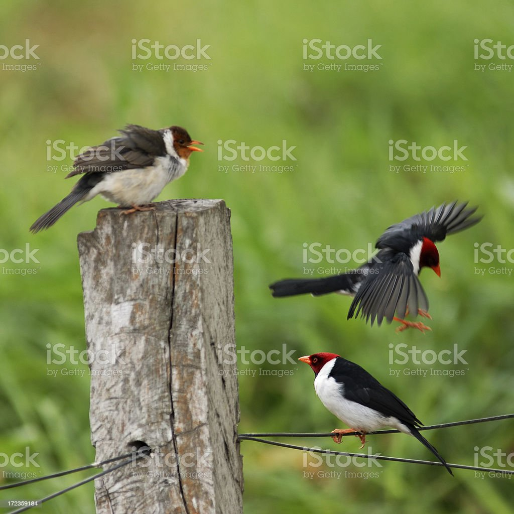 Red Capped Cardinals stock photo