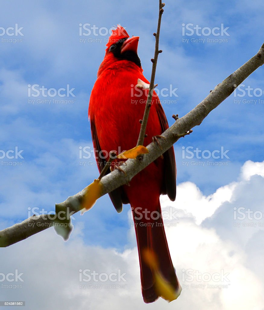 Red Cardinal bird on branch with blue sky stock photo