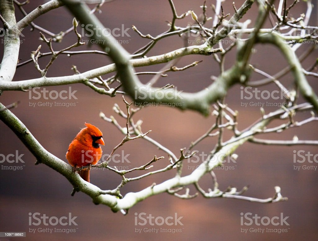 Red Cardinal Bird Perched on Bare Branches royalty-free stock photo