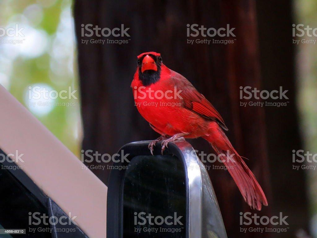 Red Cardinal Bird stock photo