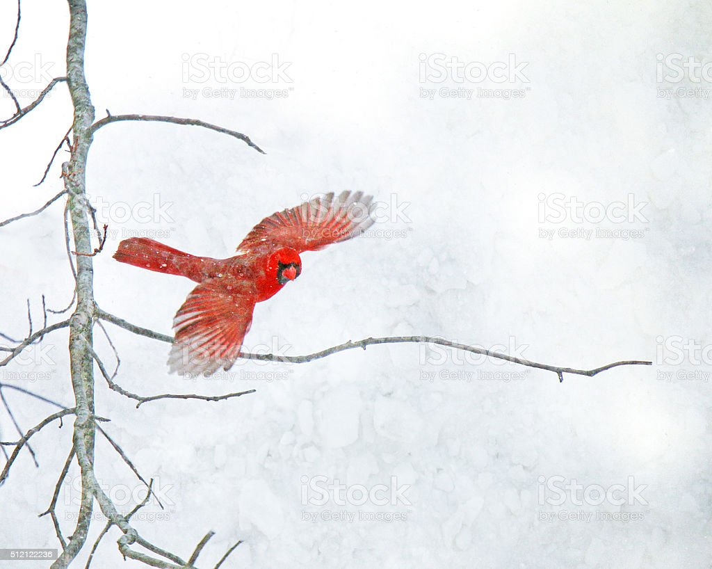 Red Cardinal Flying in the Snow stock photo