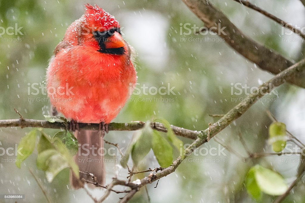 Red Cardinal on Branch in Snowstorm stock photo