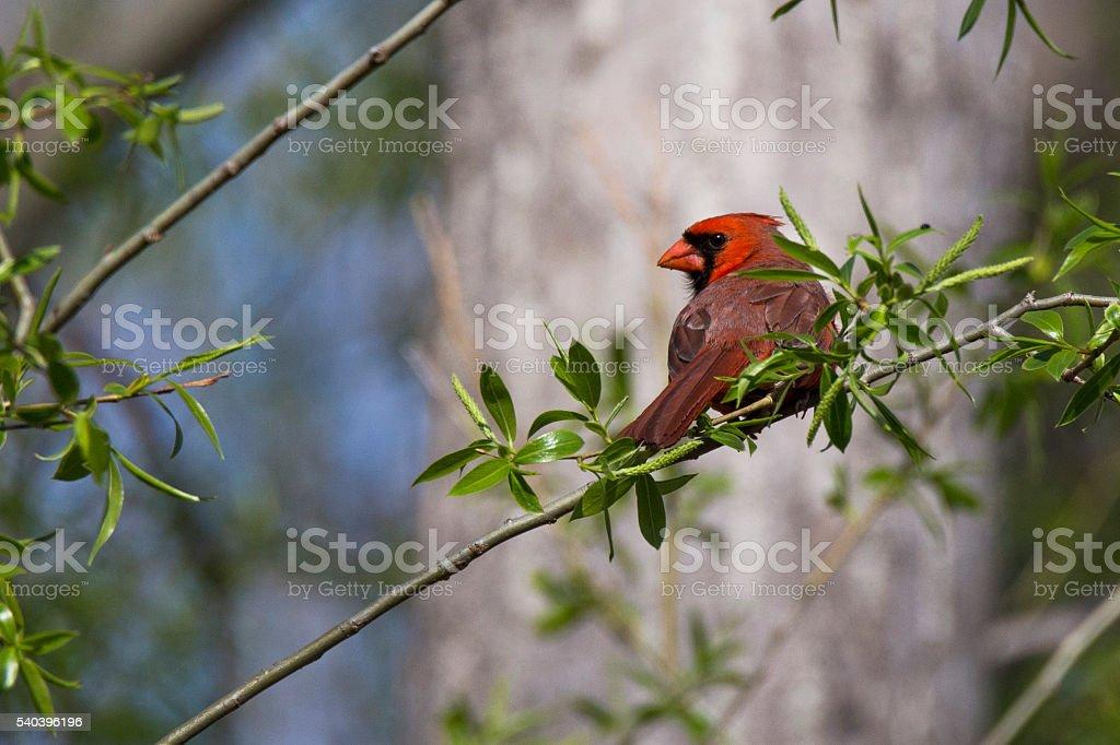Red Cardinal stock photo