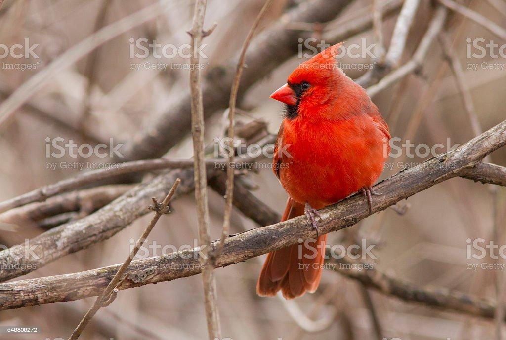 Red Cardinal portrait stock photo