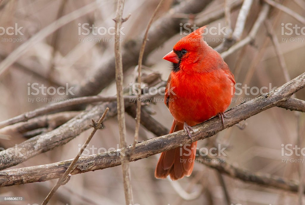 Red Cardinal portrait stock photo