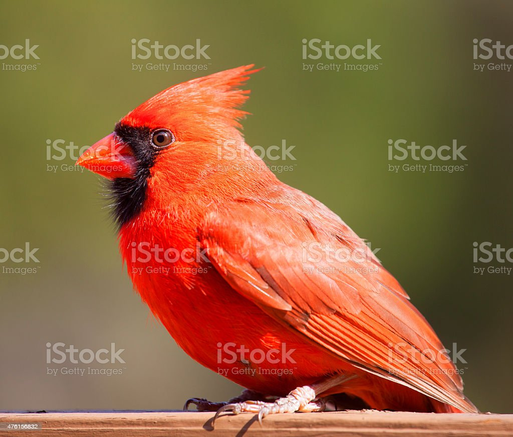 Red cardinal with green behind stock photo