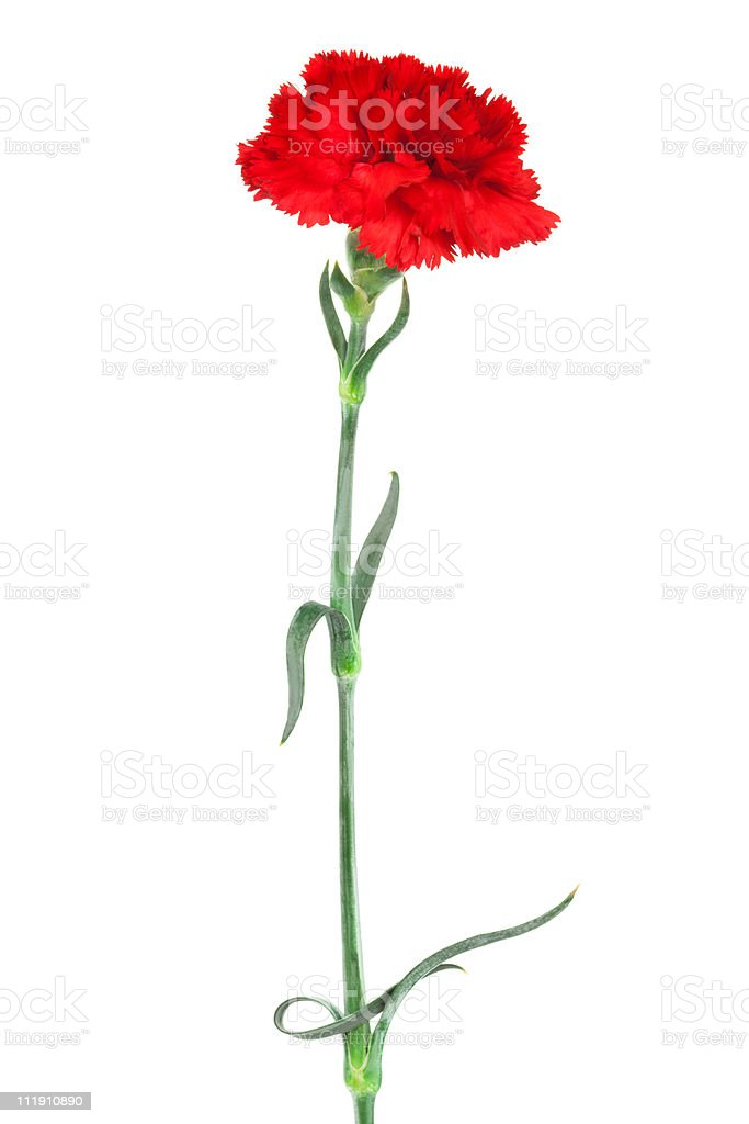 Red carnation against white background stock photo