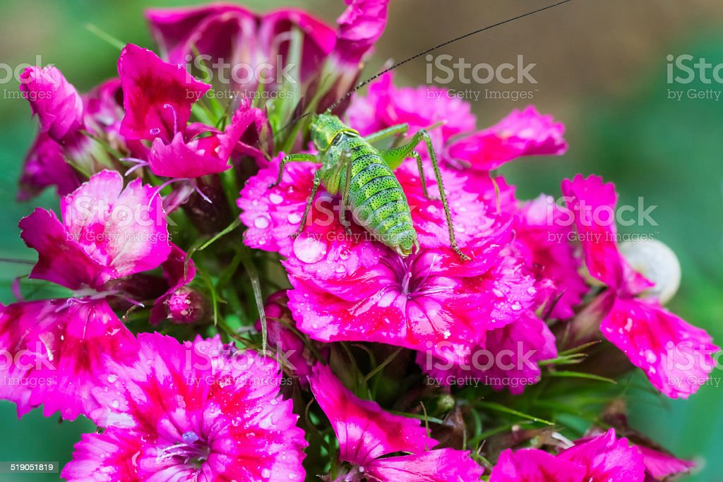 Red carnation and green grasshopper stock photo