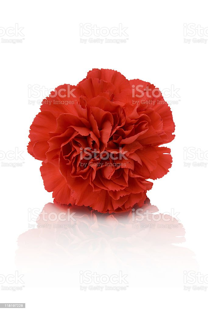 Red carnation on a white background stock photo