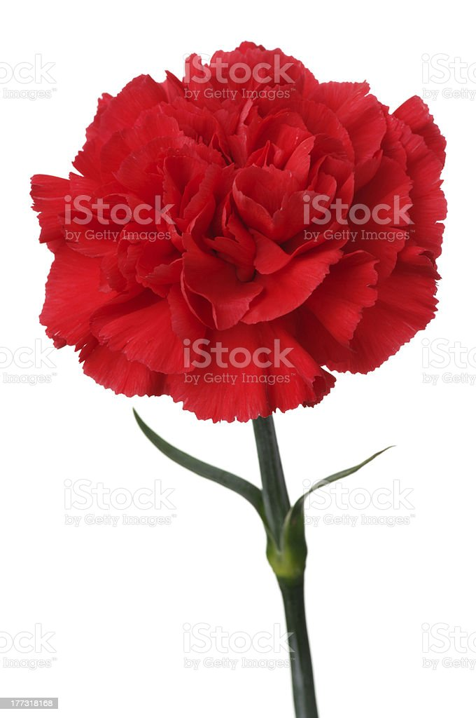Red carnation on white background. (vertical) stock photo
