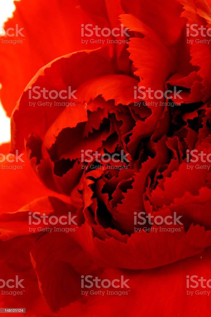 red carnation royalty-free stock photo
