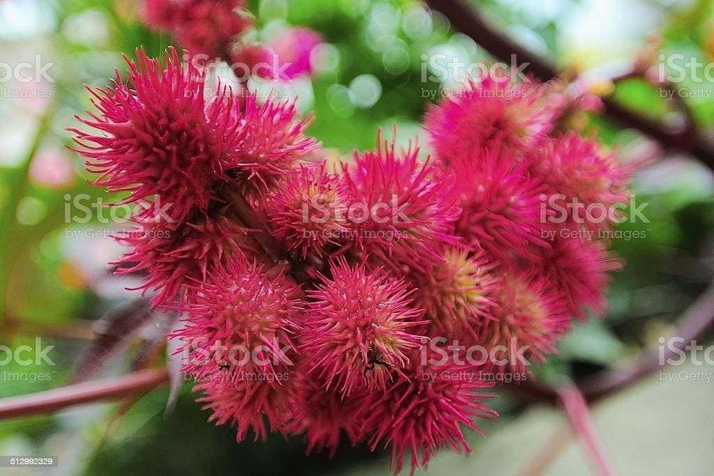 Red castor bean stock photo