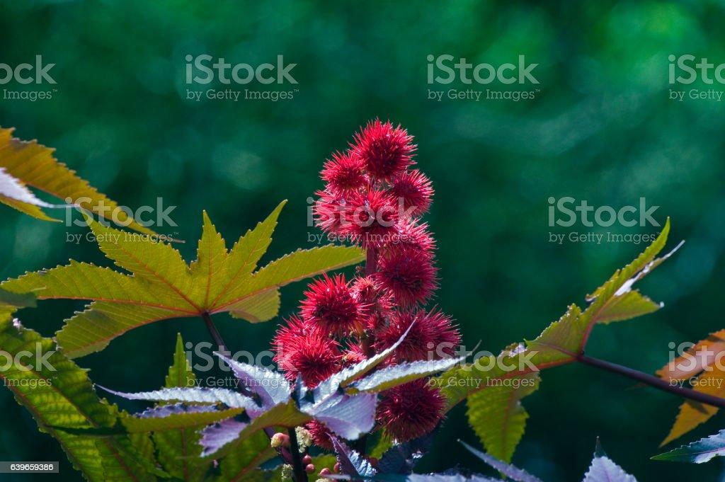 Red castor oil plant, beautiful ornamental plant stock photo