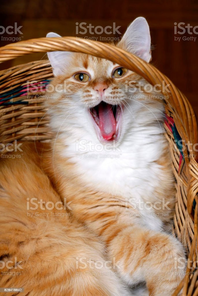 Red cat in basket close up stock photo