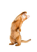 red cat looking at a white background