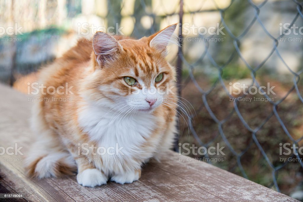Red cat lying on the bench stock photo