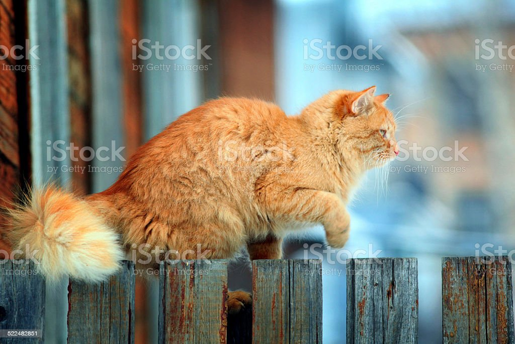 red cat on a fence stock photo