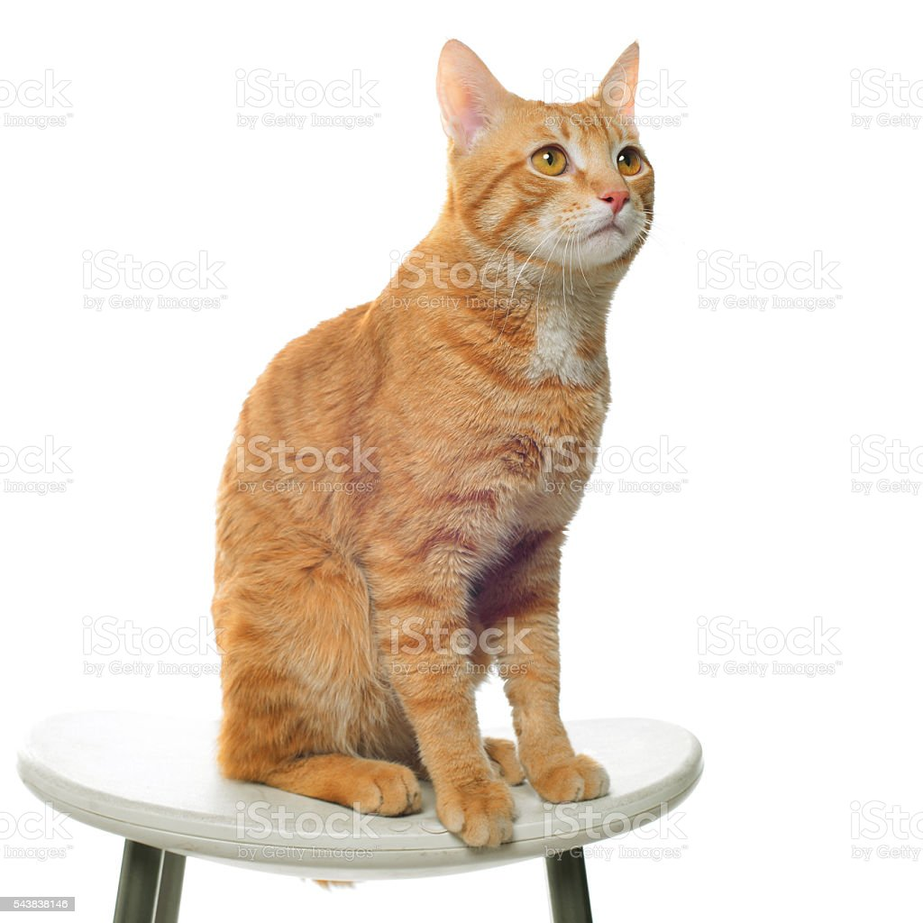 Red cat on a white background sitting on a chair stock photo