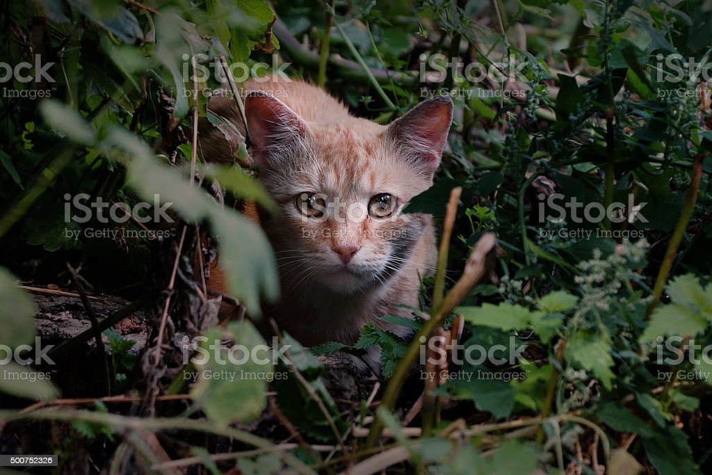 Red cat on the prowl stock photo