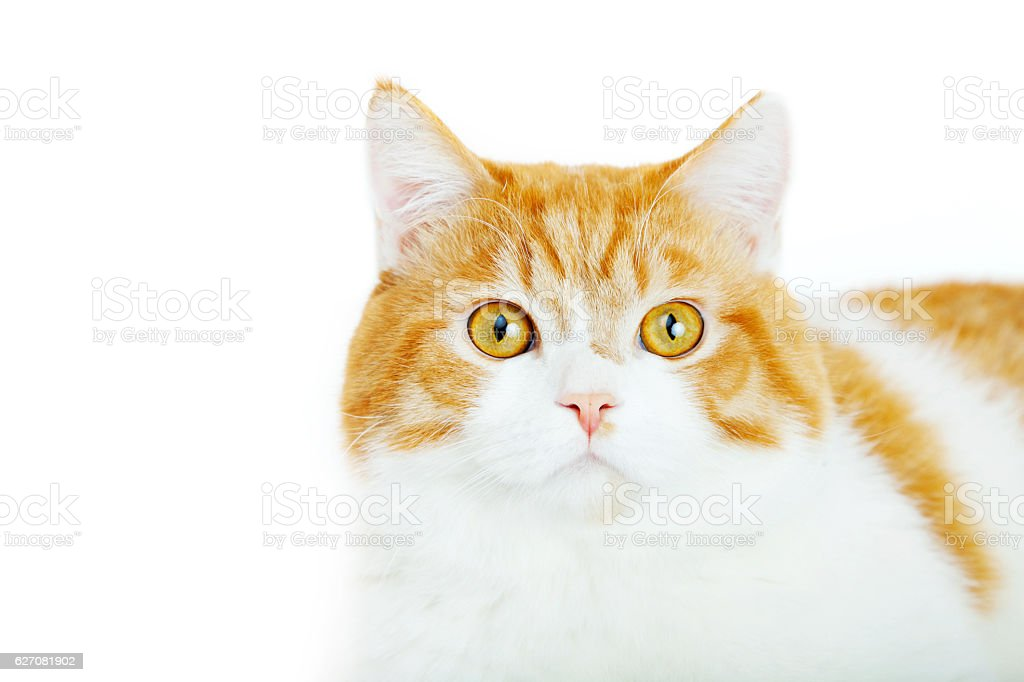 red cat on the white background royalty-free stock photo