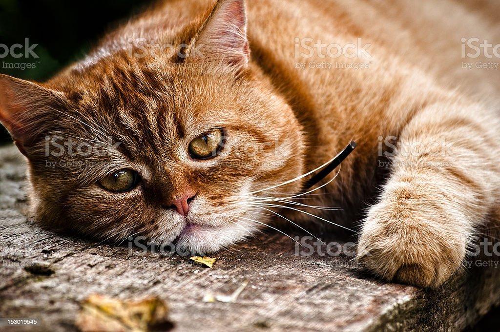 Red cat portrait stock photo
